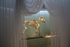 Groninger Museum 208 Skelet van een paard