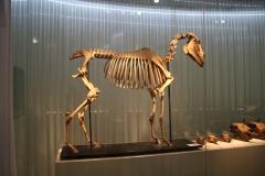 Groninger Museum 209 Skelet van een paard